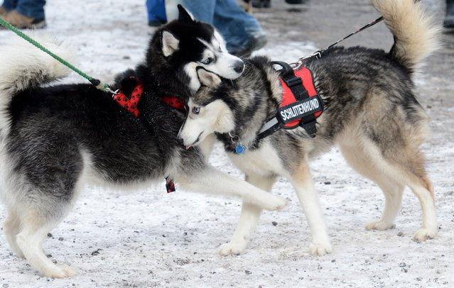 Husky dogs play on February 23, 2013 during an international dog sled race in Todtmoos, Germany. (Photo by Patrick Seeger/AFP Photo)