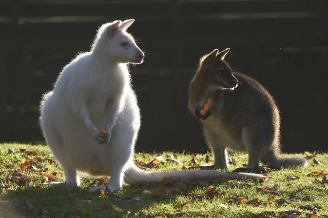 A white wallaby enjoys the sunshine at Manor House Wildlife Park in Tenby, Wales November 2, 2015. (Photo by Rebecca Naden/Reuters)