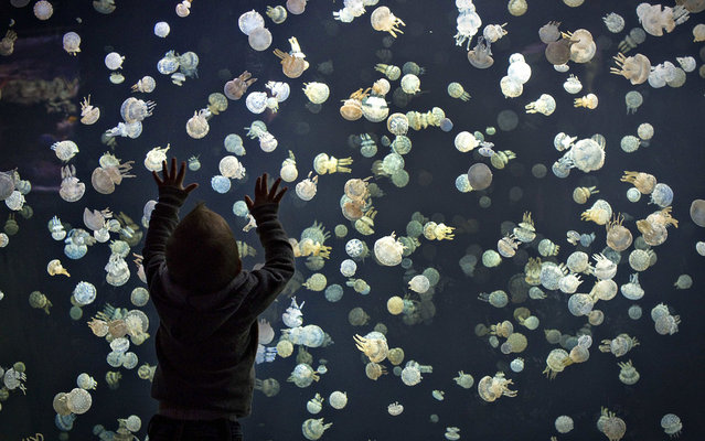 A child watches jellyfish swim in a large tank at the Vancouver Aquarium in Vancouver, British Columbia May 16, 2013. The tank contains around 2,000 spotted jellyfish and is part of a major display of 15 various species from around the world. (Photo by Andy Clark/Reuters)