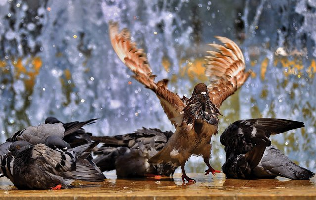 Pigeons cool down at a public fountain on a hot summer day at University Plaza in downtown Bucharest, Romania, 10 June 2020. Temperatures in Bucharest reached 30 degrees Celsius. (Photo by Robert Ghement/EPA/EFE)