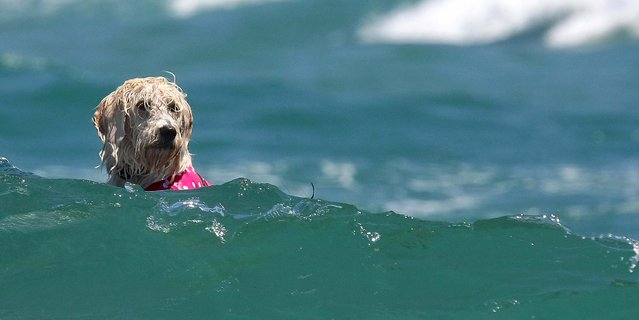 A dog navigates the surf during the competition. (Photo by Taylor Jones/The Palm Beach Post)