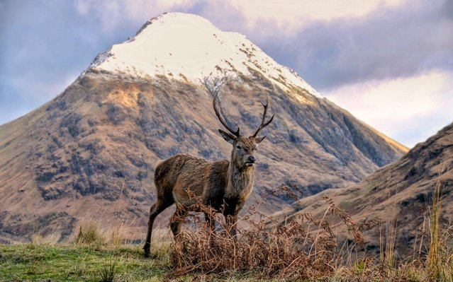 A stag stands by the snow capped Buachaille Etive Mòr, generally known to climbers simply as The Buachaille, a mountain at the head of Glen Etive in the Highlands of Scotland. (Photo by Charles McGuigan/Bav Media)