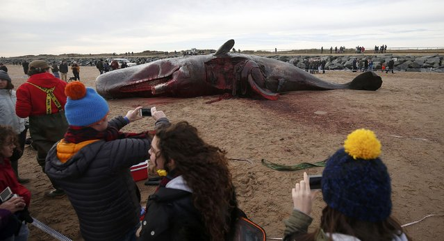 A sperm whale lies on the sand after being washed ashore at Skegness beach in Skegness, Britain January 25, 2016. Three dead sperm whales washed up in Skegness on the weekend, local media reported. (Photo by Andrew Yates/Reuters)