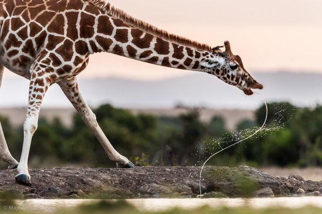 """We just want to move to search to the Leopard at that morning but we found a group of giraffes come toward a small lake and start drinking it was a nice moment when the Giraffe finish from drinking and leave a letters S with motion in the air"". (Photo and caption by Majed Ali)"
