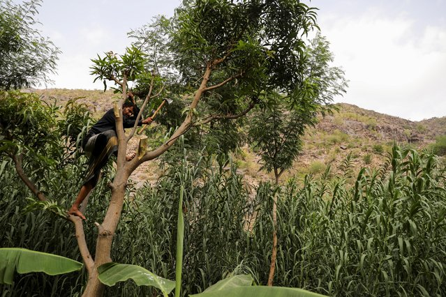 """Sulaiman Jubran uses an axe to cut a tree in Khamis Banisaad district of al-Mahweet province, Yemen, June 10, 2021. """"Demand depends on the number of fuel ships that make it to Hodeidah port. These days it (demand) is very high"""", said Jubran, who scratches a living selling firewood to visiting traders. """"We are scared the country will become a desert, it is already happening . you no longer see the trees that once covered the mountains"""", he said. (Photo by Khaled Abdullah/Reuters)"""