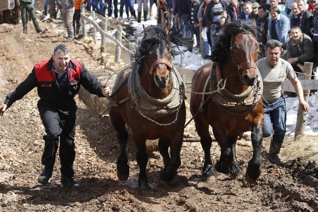 Bosnian men urge their  horses to pull logs up  a hill during a competition in the Bosnian town of Sokolac 50 kms west of Sarajevo, Bosnia,on Monday, April, 13, 2015. The annual festival celebrates the centuries old tradition of pulling logs honoring the owners of the strongest horses. Owners of the horses gather from all over Bosnia and beyond, and compete in a show of horse strength. (Photo by Amel Emric/AP Photo)