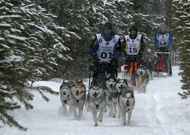 "Contestants race their Siberian Husky dogs during the ""Kara-Dag 2016"" open amateur dog sled and skijoring race near the village of Yelovoye in Taiga district, outside Krasnoyarsk, Siberia, Russia, February 21, 2016. (Photo by Ilya Naymushin/Reuters)"
