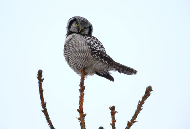 A hawk owl sits on a fir branch near the village of Vasilkova, Belarus January 9, 2017. (Photo by Vasily Fedosenko/Reuters)