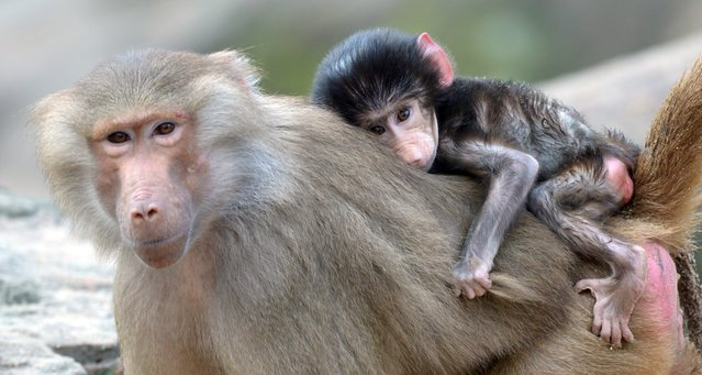 A young hamadryas baboon is carried by the mother in the Zoological Garden in Berlin, Germany, 08 November 2013. (Photo by Rainer Jensen/EPA)