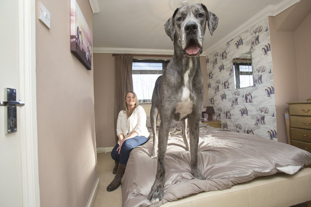 Britain's biggest dog, 18 month old great Dane, Freddy comes up close to the camera while standing on the bed as it's owner Claire Stoneman looks on in Southend-on-Sea, Essex, England. (Photo by Matt Writtle/Barcroft Media)