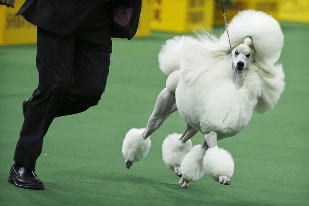 Ally, a standard poodle, competes in the non-sporting group during day one of judging of the 2014 Westminster Kennel Club Dog Show in New York. (Photo by Eduardo Munoz/Reuters)