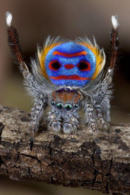 Peacock Spider Maratus Speciosus by Jurgen Otto