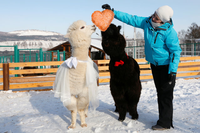 Zoo keeper Yelena Shabanova treats a couple of young alpacas, male Romeo (R) and female Juliette, to a pie formed as a heart and made of carrots as employees congratulate coupled animals on Valentine's Day at the Roev Ruchey Zoo in Krasnoyarsk, Russia February 14, 2017. (Photo by Ilya Naymushin/Reuters)