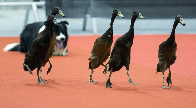 A border collie guides gooses during a competition on the third day of an international dog show at the fair ground in Berlin  March 30, 2014 in Berlin. (Photo by Johannes Eisele/AFP Photo)