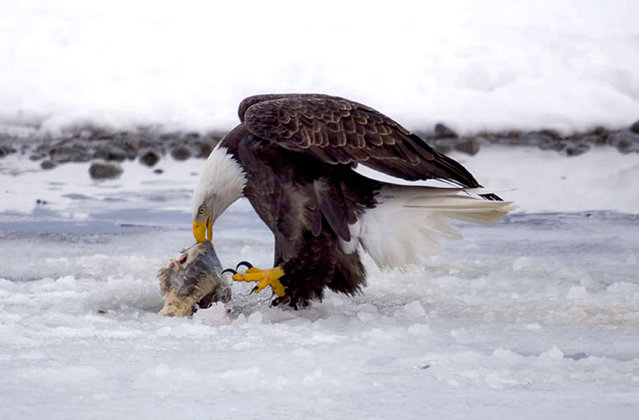 In this undated photo provided the American Bald Eagle Foundation, a bald eagle feeds on a salmon carcass in the Alaska Chilkat Bald Eagle Preserve outside Haines, Alaska. The preserve is about 10 miles downstream from a copper and zinc prospect that could someday be developed into a hard rock mine. Critics say a spill from mining operations could harm salmon in the rivers of the preserve, where up to 4,000 eagles gather each winter to feed on the fish after they spawn. (Photo by Cheryl McRoberts/American Bald Eagle Foundation via AP Photo)