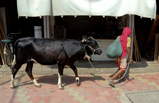 """An Indian woman walks a cow in Mumbai, India, Friday, April 28, 2017. A human rights group on Friday expressed concern over rising brutal attacks in India by self-appointed """"cow protectors"""" against Muslims and lower castes over rumors that they sold, bought or killed cows for beef. (Photo by Rajanish Kakade/AP Photo)"""