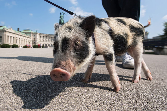 One-year-old teacup pig Schwupsi walks on a leash at Vienna's Heldenplatz in front of the Hofburg Palace in Vienna, Austria, 25 May 2016. (Photo by Christian Bruna/EPA)