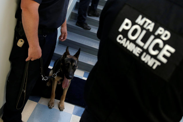 Lucky, a Metropolitan Transit Authority (MTA) Police dog in training, stands between officers as they train inside the new MTA Police Department Canine Training Center in Stormville, New York, U.S., June 6, 2016. (Photo by Mike Segar/Reuters)