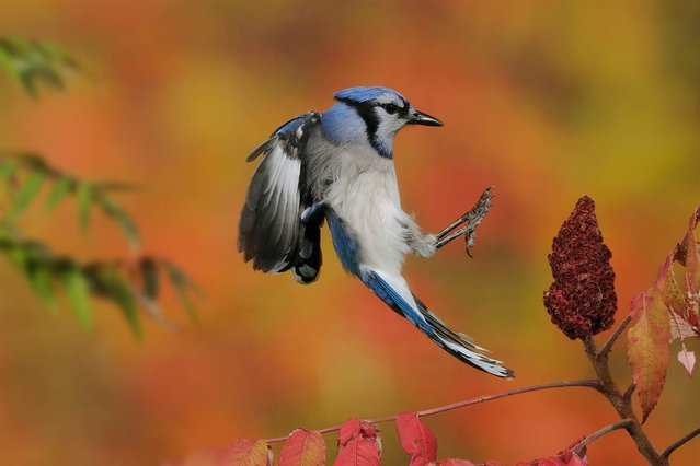 Blue Jays can easily be lured into an outdoor photo set-up by leaving their favorite snack out: peanuts