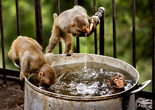 Monkeys take refuge from the heat with a dip in a cool pan of water  near Jammu, India on May 25, 2012