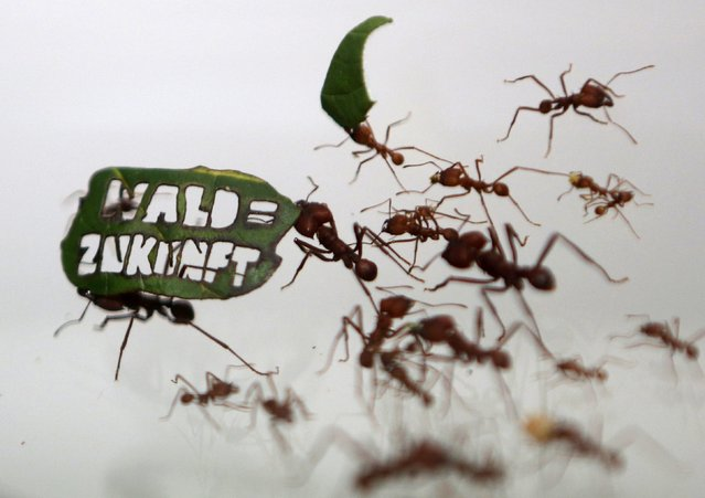 """Ants carry a leaf with a slogan reading """"Forest = Future"""" at the zoo in Cologne, Germany August 18, 2015. (Photo by Ina Fassbender/Reuters)"""