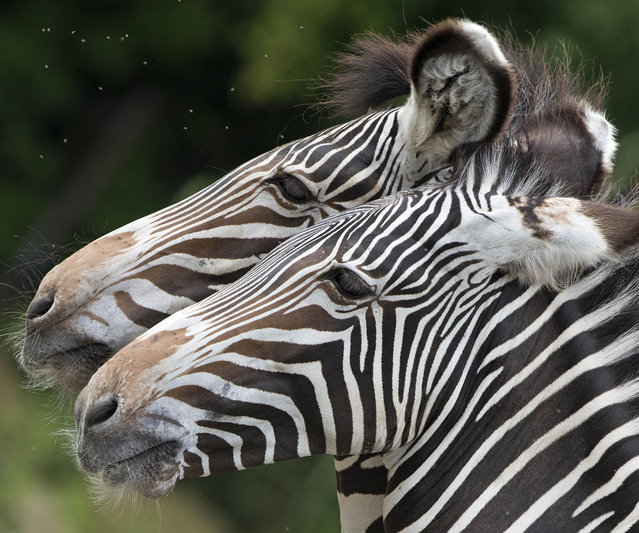 Zebras stand head to head in their compound at the Zoo in Leipzig, Germany, Tuesday, August 5, 2014. (Photo by Jens Meyer/AP Photo)