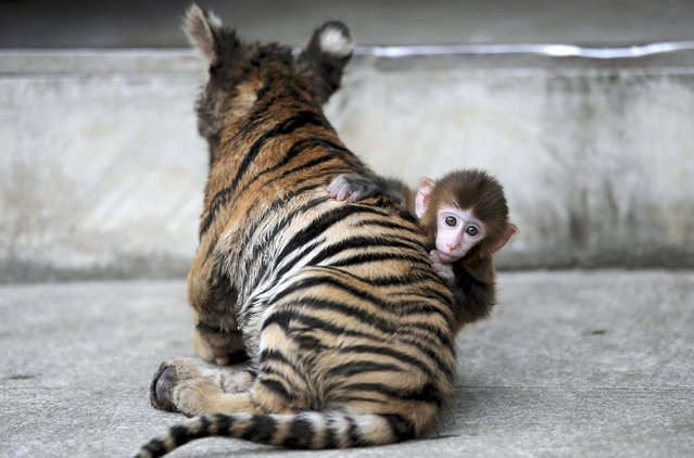 A baby rhesus macaque (Macaca mulatta) looks up as it plays with a tiger cub at a zoo in Hefei, Anhui province, August 2, 2012. (Photo by Jianan Yu/Reuters)