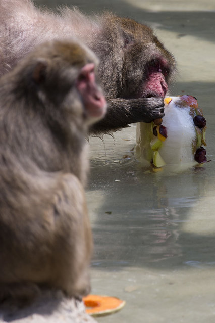 A Japanese macaque licks a block of frozen yogurt and fruit to refresh itself in Rome's Bioparco zoo, Wednesday, July, 13, 2016. (Photo by Andrew Medichini/AP Photo)