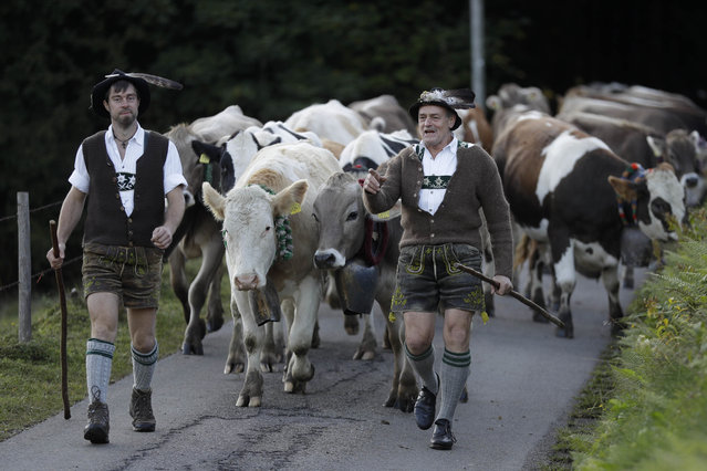 Bavarian herdsmen in traditional dresses drive their beasts on a road during the return of the cattle from the summer pastures in the mountains in Thalkirchdorf, Germany, Friday, September 22, 2017. (Photo by Matthias Schrader/AP Photo)