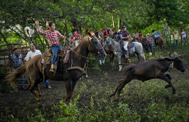 In this July 29, 2016 photo, cowgirl Dariadna Corujo winds up to lasso a calf during an improvised rodeo event at a farm in Sancti Spiritus, central Cuba. At the tender age of 6, Dariadna is already an expert barrel racer and calf roper. In the flat grasslands of Sancti Spiritus, a group of neighboring cattle ranchers founded a non-governmental organization called Future Ranchers more than a decade ago to revive Cuba's rodeo culture, which dates back centuries to Spanish colonial times. (Photo by Ramon Espinosa/AP Photo)