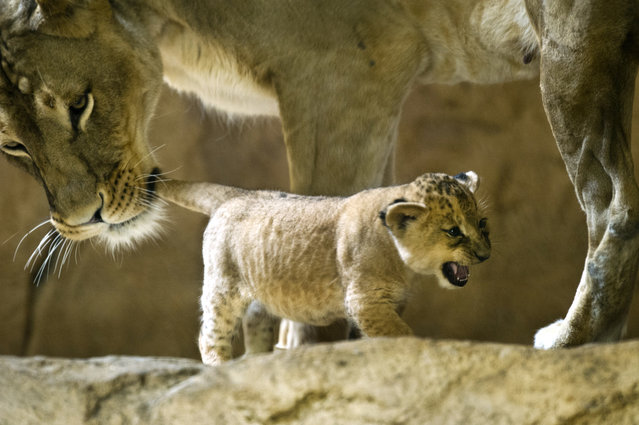 Lion mother Layla holds one of her two babies by the tail in their enclosure at the Zoo in Dresden, eastern Germany, on September 6, 2012. Two five-week old lion babies were presented to the public for the first time. (Photo by Arno Burgi/AFP)