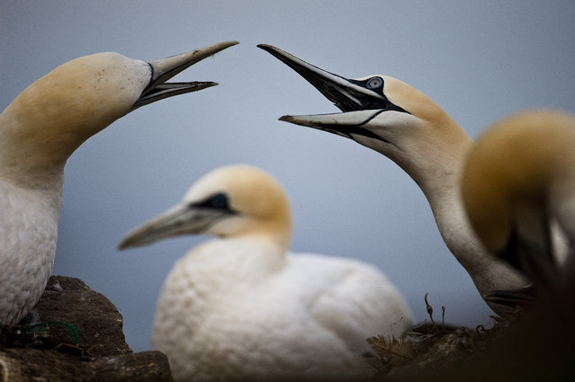 Two gannets gesture at each other with open beaks, 2014, in Shetland, Scotland. (Photo by Richard Shucksmith/Barcroft media)