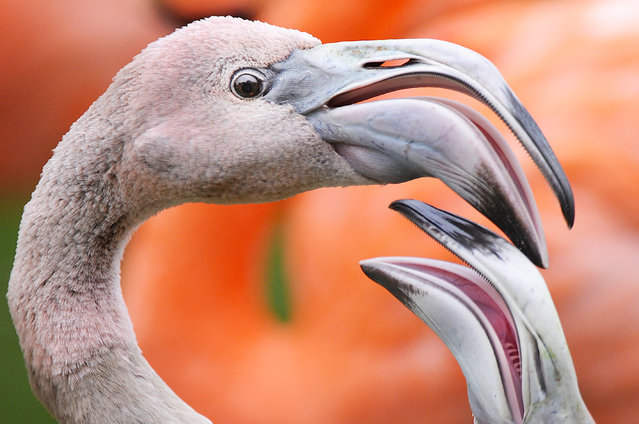 Flamingos seen at the ZSL Whipsnade Zoo in Whipsnade on September 29, 2014 in Bedfordshire, England. (Photo by Tony Margiocchi/Barcroft Media)