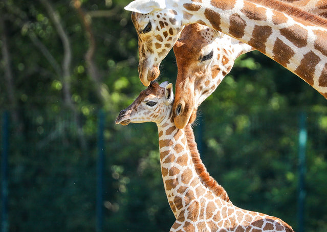 Henry, a newborn Rothschild's giraffe (Giraffa camelopardalis rothschildi) calf, is kept under the watchful gaze of adult giraffes inside their enclosure at the 'Tierpark Berlin' zoo in Berlin, Germany, 16 June 2020. The 11-day-old male was born on 05 June and already measures around 2 meters (6 feet and 6.7 inches) in height and weighs an estimated 60 kilograms (132 pounds). Rothschild's giraffes are a critically-endangered subspecies, with only some 2,000 known specimens remaining in the wild. Adults can reach a height of up to 5.88 meters (19.3 feet) and a weight of around 1.13 tons (2,500 pounds). (Photo by Omer Messinger/EPA/EFE)
