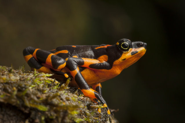 Variable Harlequin Frog, Atelopus varius, a critically endangered species that was feared extinct before being rediscovered in a remote stream in Costa Rica in 2003. The reappearance of the frog signaled the beginning of a new chapter in the story of amphibian declines and extinctions, as other species began reappearing after decades without trace. (Photo by Robin Moore)