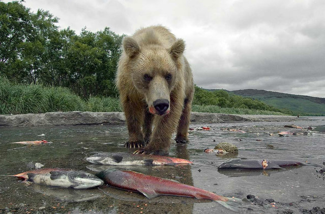 Hunting for a Salmon. Scene of action: Cape Grassy, Kuril lake, Kamchatka, Russia