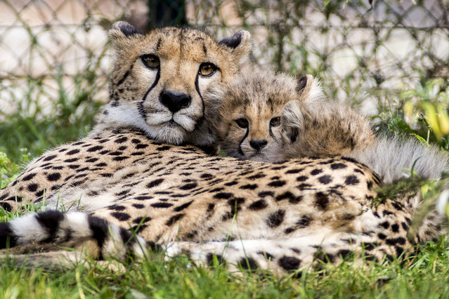 Young Cheetahs stand close to their mother in their enclosure in the zoo of Basel, Switzerland, October 8, 2014. After five years, the zoo saw again the birth of baby cheetahs. The mother named Alima gave birth to four female offspring on July 24, 2014. (Photo by Patrick Straub/EPA)