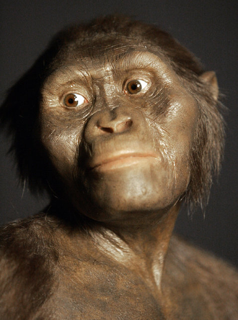 This August 14, 2007, file photo shows a three-dimensional model of the early human ancestor, Australopithecus afarensis, known as Lucy, on display at the Houston Museum of Natural Science. It's a scientific estimation of what Lucy may have looked like in life. A new study based on an analysis of Lucy's fossil by the University of Texas at Austin suggests she died after falling from a tree. An analysis of her partial skeleton reveals breaks in her right arm, left shoulder, right ankle and left knee – injuries that researchers say resulted from falling from a high perch such as a tree. Lucy likely died quickly, said John Kappelman, an anthropologist at the University of Texas at Austin, who published the findings Monday in the journal Nature. (Photo by Pat Sullivan/AP Photo)