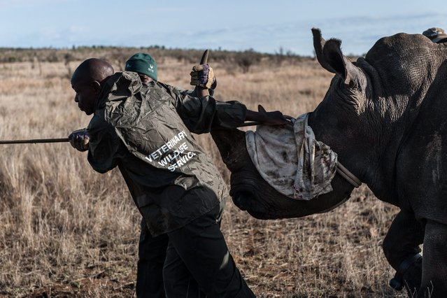 Ben Baloyi (L) and Thomas Mahori (B) members of the Kruger National Park Veterinary Wildlife Services in South Africa guide a sedated white rhino toward a loading truck in the Kruger National Park on October 17, 2014. (Photo by Stefan Heunis/AFP Photo)