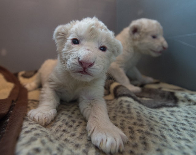 Two two-day-old white lion cubs gesture in their enclosure at Zoo Safari in Borysew, Poland, October 20, 2014. The two rare white lions were born at the zoo Safari on October 18, 2014 and have been taken away from their mother in case of rejection due to a complicated and long birth. (Photo by Grzegorz Michalowski/EPA)