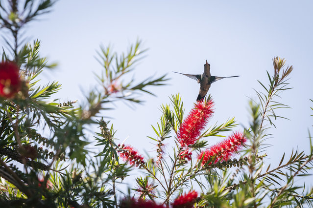A glittering-bellied emerald (Chlorostilbon lucidus) hummingbird hovers among the weeping bottlebrush (Melaleuca viminalis) flowers to feed nectar in a backyard garden, seen during sunny winter day in Asuncion, Paraguay on August 22, 2020. (Photo by Andre M. Chang/ZUMA Wire/Rex Features/Shutterstock)