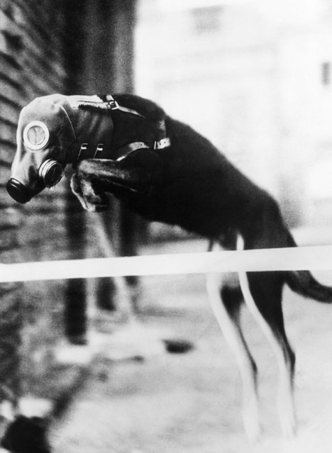Protection of the civilian population in Germany against gas attacks in future wars has extended to animal life. This dog is shown taking a jump  and his gas mask is no impediment, June 1, 1934. (Photo by AP Photo)