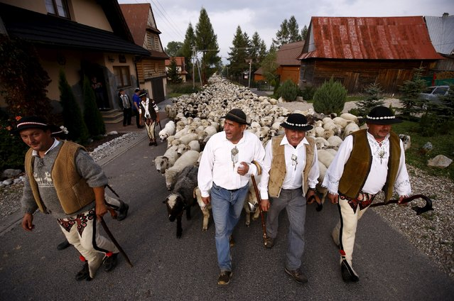 Shepherds walk with sheep through the village on their way home during autumn redyk in Gron, Tatra Mountains region of southern Poland, October 6, 2015. (Photo by Kacper Pempel/Reuters)