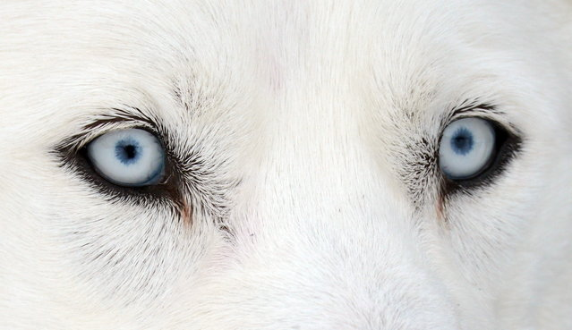 Eyes of a Husky dog are seen on February 23, 2013 during an international dog sled race in Todtmoos, Germany. (Photo by Patrick Seeger/AFP Photo)