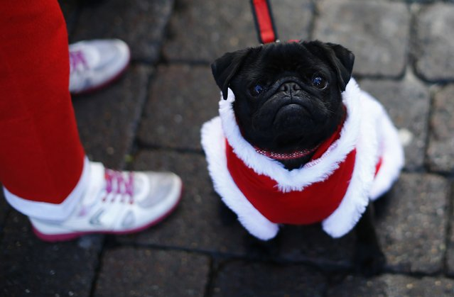 A dog sits with a competitor dressed as Santa Claus before an annual charity Santa fun run in Loughborough, central England December 7, 2014. (Photo by Darren Staples/Reuters)