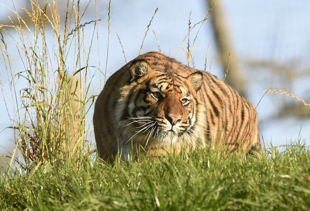 Terima, a Sumatran tiger enjoys the sunshine at Manor House Wildlife Park in Tenby, Wales November 2, 2015. Wales has been enjoying record temperatures for the month of November, local media reported. (Photo by Rebecca Naden/Reuters)