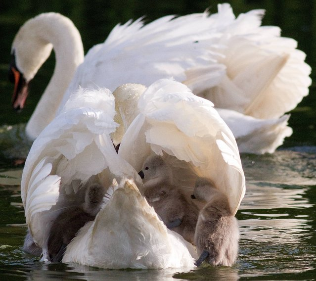 Swan attacks and kills baby Swans in Tymon park Tallagh Dublin Ireland on May 14th 2013. (Photo by Paul Hughes)