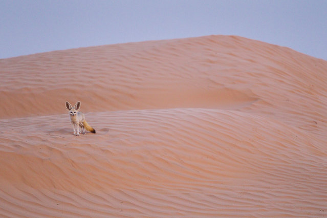 Italian photographer Bruno D'Amicis has won the 2015 Fritz Pölking prize with his photography story 'Fennec, little ghost of the dunes'. The award, named in honour of wildlife photographer Fritz Pölking, who died in 2007, is run by the Society of German Nature Photographers. It is one of the categories in the GDT's European wildlife photographer of the year awards. (Photo by Bruno D'Amicis/Fritz Pölking Prize/GDT EWPY 2015)