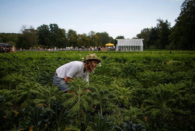 Pelle Mattsson, intern gardener at Rosendals Garden, harvests during the harvest festival in Stockholm, Sweden, September 11, 2016. (Photo by Maxim Shemetov/Reuters)