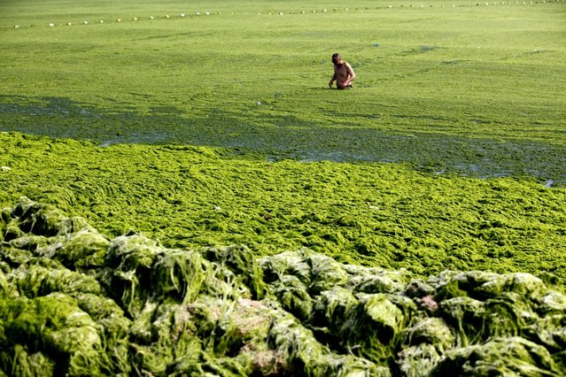 A man swims in seawater covered by a thick layer of green algae on July 3, 2013 in Qingdao, China. A large quantity of non-poisonous green seaweed, enteromorpha prolifera, hit the Qingdao coast in recent days. More than 20,000 tons of such seaweed has been removed from the city's beaches. (Photo by China Foto Press)